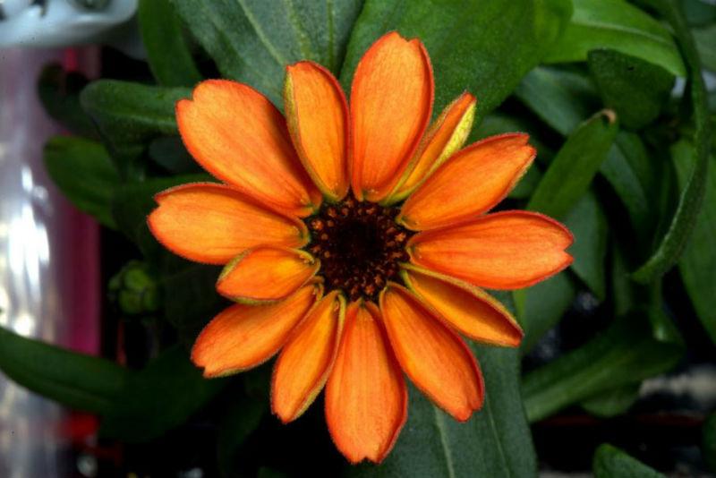 Scott Kelly tarafından çekilen uzayda yetiştirilmiş ilk zinya çiçeği.